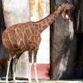 animali geneticamente photoshoppati-6